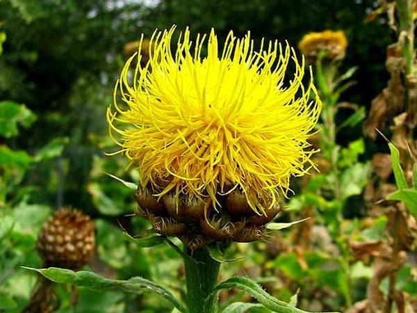 Bighead Knapweed (Centaurea Macrocephala) https://www.sagebud.com/bighead-knapweed-centaurea-macrocephala