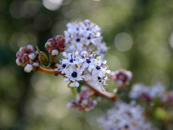 Bigpod Ceanothus (Ceanothus Megacarpus) https://www.sagebud.com/bigpod-ceanothus-ceanothus-megacarpus