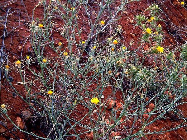 Maltese Star-Thistle (Centaurea Melitensis) https://www.sagebud.com/maltese-star-thistle-centaurea-melitensis