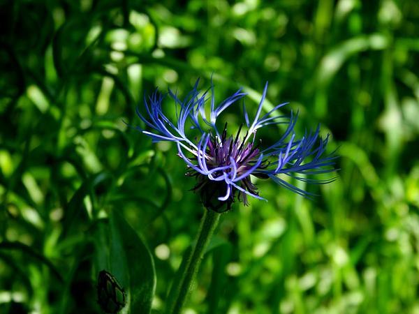 Perennial Cornflower (Centaurea Montana) https://www.sagebud.com/perennial-cornflower-centaurea-montana