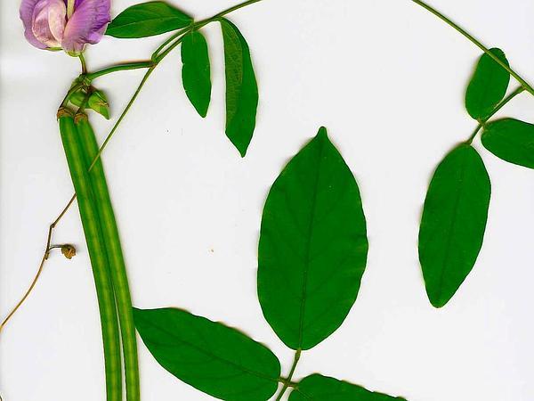 Soft Butterfly Pea (Centrosema Molle) https://www.sagebud.com/soft-butterfly-pea-centrosema-molle