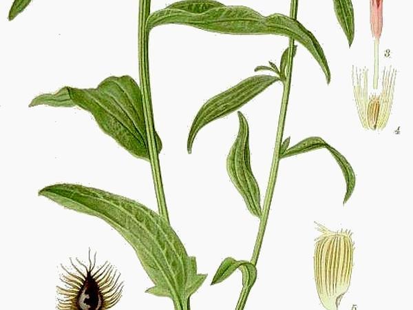 Lesser Knapweed (Centaurea Nigra) https://www.sagebud.com/lesser-knapweed-centaurea-nigra