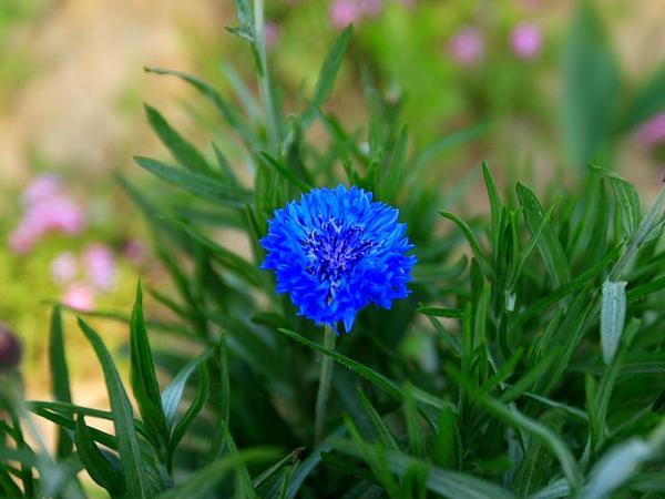 Knapweed (Centaurea) https://www.sagebud.com/knapweed-centaurea