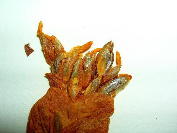 Centaury (Centaurium) https://www.sagebud.com/centaury-centaurium