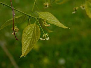 Common Hackberry