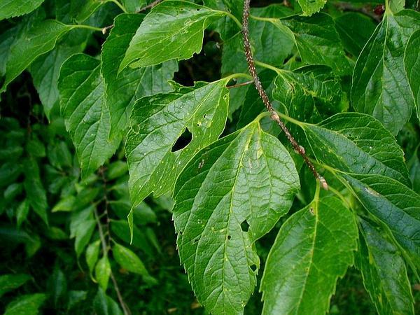 Common Hackberry (Celtis Occidentalis) https://www.sagebud.com/common-hackberry-celtis-occidentalis/