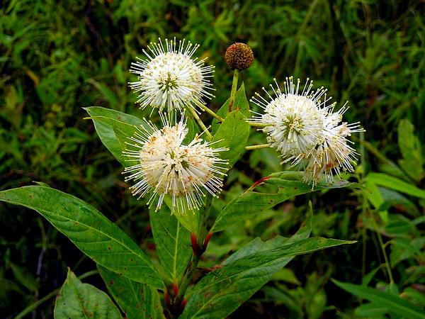 Common Buttonbush (Cephalanthus Occidentalis) https://www.sagebud.com/common-buttonbush-cephalanthus-occidentalis