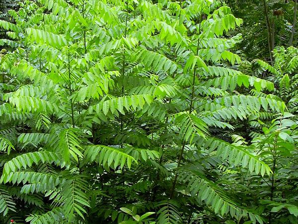 Spanish Cedar (Cedrela Odorata) https://www.sagebud.com/spanish-cedar-cedrela-odorata/