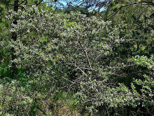 Wartleaf Ceanothus (Ceanothus Papillosus) https://www.sagebud.com/wartleaf-ceanothus-ceanothus-papillosus
