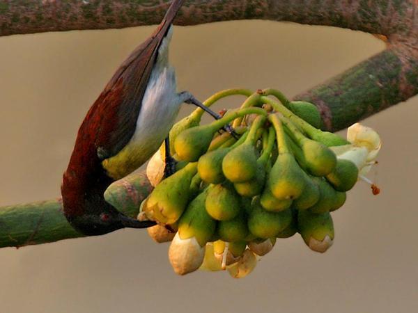 Kapoktree (Ceiba Pentandra) https://www.sagebud.com/kapoktree-ceiba-pentandra/
