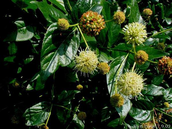 Buttonbush (Cephalanthus) https://www.sagebud.com/buttonbush-cephalanthus