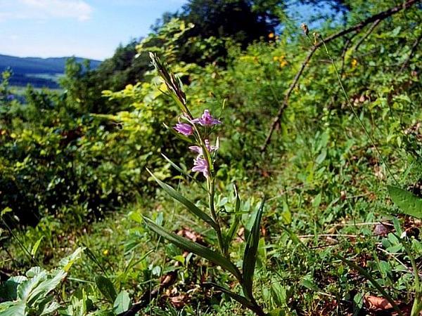 Cephalanthera (Cephalanthera) https://www.sagebud.com/cephalanthera-cephalanthera
