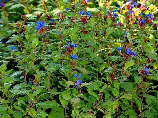 Blue Leadwood (Ceratostigma Plumbaginoides) https://www.sagebud.com/blue-leadwood-ceratostigma-plumbaginoides