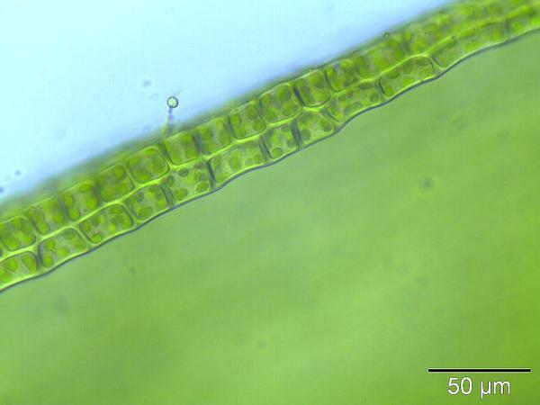 Ceratodon Moss (Ceratodon Purpureus) https://www.sagebud.com/ceratodon-moss-ceratodon-purpureus/