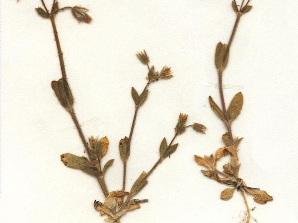 European Chickweed (Cerastium Pumilum) https://www.sagebud.com/european-chickweed-cerastium-pumilum