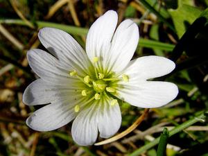 Mouse-Ear Chickweed