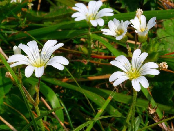 Mouse-Ear Chickweed (Cerastium) https://www.sagebud.com/mouse-ear-chickweed-cerastium