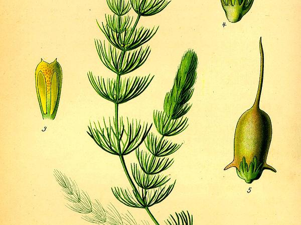 Hornwort (Ceratophyllum) https://www.sagebud.com/hornwort-ceratophyllum