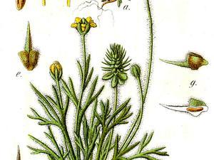 Curveseed Butterwort