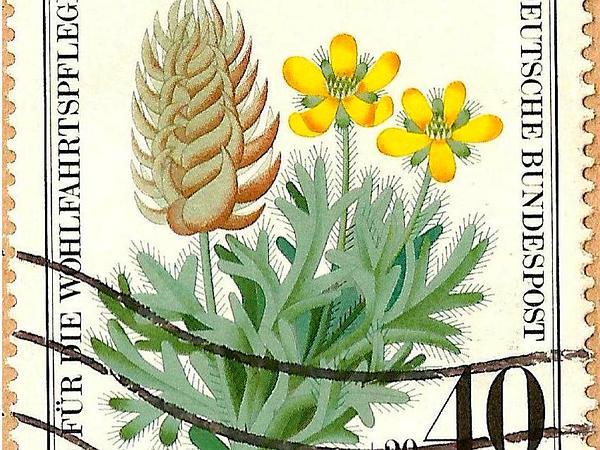 Curveseed Butterwort (Ceratocephala) https://www.sagebud.com/curveseed-butterwort-ceratocephala