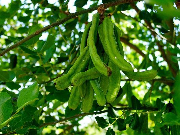 Ceratonia (Ceratonia) https://www.sagebud.com/ceratonia-ceratonia