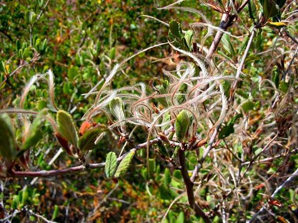 Mountain Mahogany (Cercocarpus) https://www.sagebud.com/mountain-mahogany-cercocarpus