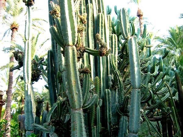 Sweetpotato Cactus (Cereus) https://www.sagebud.com/sweetpotato-cactus-cereus