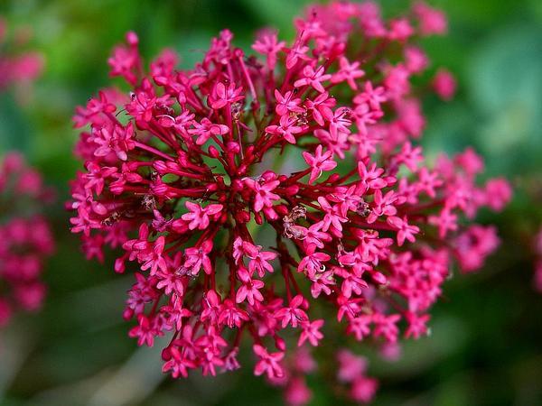 Red Valerian (Centranthus Ruber) https://www.sagebud.com/red-valerian-centranthus-ruber