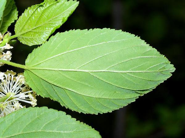 Redstem Ceanothus (Ceanothus Sanguineus) https://www.sagebud.com/redstem-ceanothus-ceanothus-sanguineus