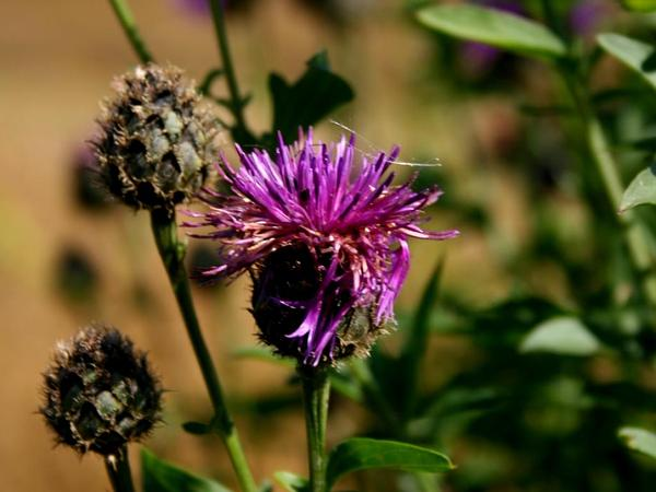 Greater Knapweed (Centaurea Scabiosa) https://www.sagebud.com/greater-knapweed-centaurea-scabiosa