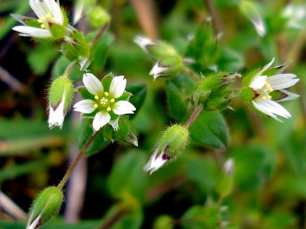 Fivestamen Chickweed (Cerastium Semidecandrum) https://www.sagebud.com/fivestamen-chickweed-cerastium-semidecandrum