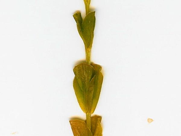 Lavaslope Centaury (Centaurium Sebaeoides) https://www.sagebud.com/lavaslope-centaury-centaurium-sebaeoides