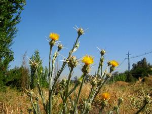 Yellow Star-Thistle