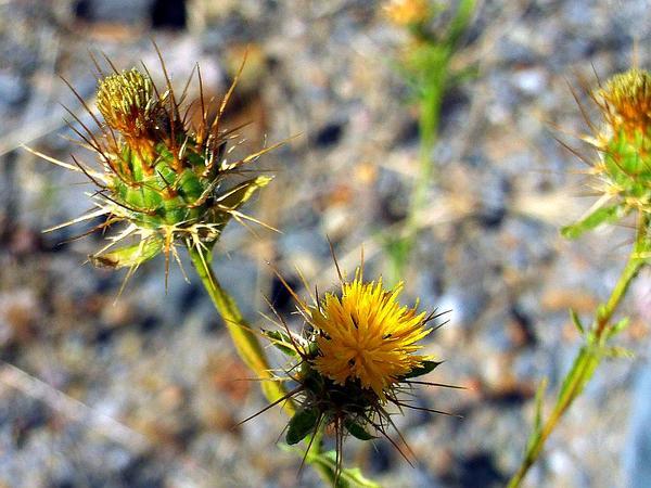 Yellow Star-Thistle (Centaurea Solstitialis) https://www.sagebud.com/yellow-star-thistle-centaurea-solstitialis