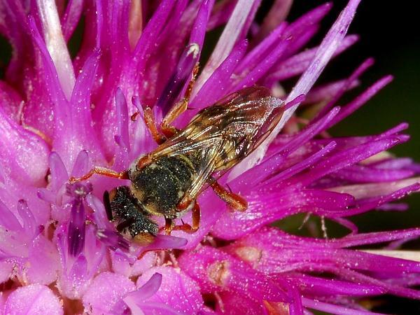 Spotted Knapweed (Centaurea Stoebe) https://www.sagebud.com/spotted-knapweed-centaurea-stoebe