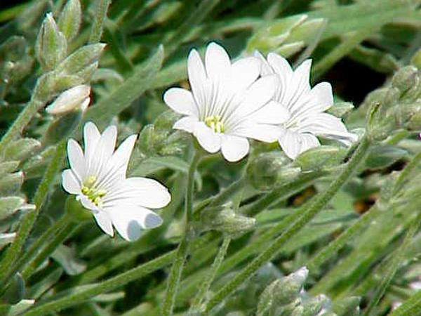 Snow In Summer (Cerastium Tomentosum) https://www.sagebud.com/snow-in-summer-cerastium-tomentosum