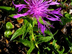 Singleflower Knapweed