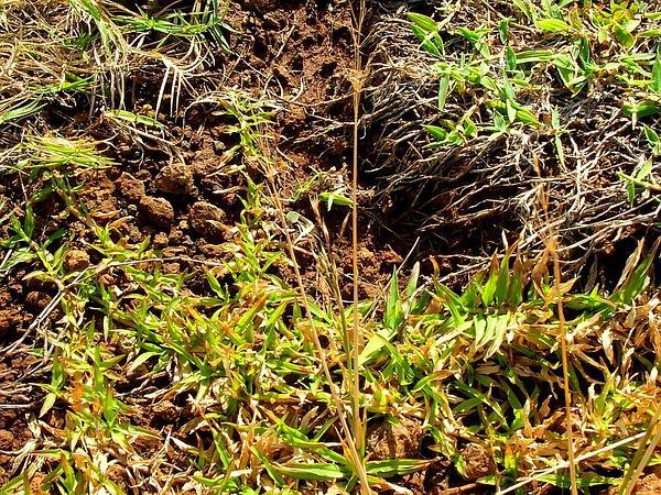 Golden False Beardgrass (Chrysopogon Aciculatus) https://www.sagebud.com/golden-false-beardgrass-chrysopogon-aciculatus/