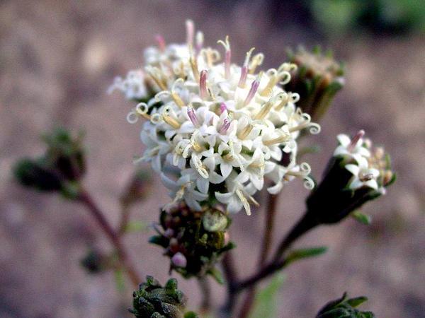 Pincushion (Chaenactis) https://www.sagebud.com/pincushion-chaenactis