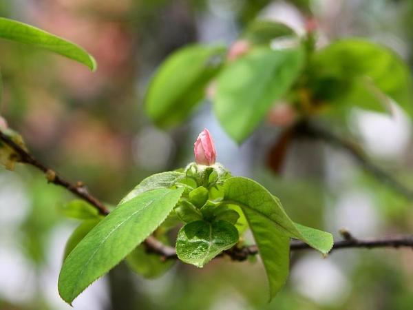 Flowering Quince (Chaenomeles) https://www.sagebud.com/flowering-quince-chaenomeles