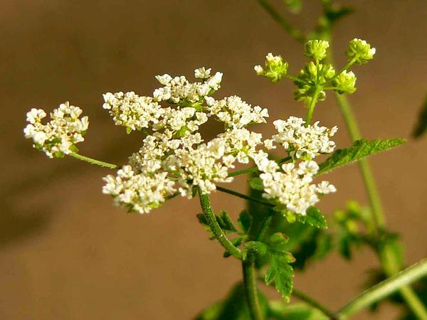 Chervil (Chaerophyllum) https://www.sagebud.com/chervil-chaerophyllum