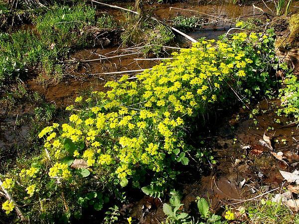 Alternate-Leaf Golden Saxifrage (Chrysosplenium Alternifolium) https://www.sagebud.com/alternate-leaf-golden-saxifrage-chrysosplenium-alternifolium