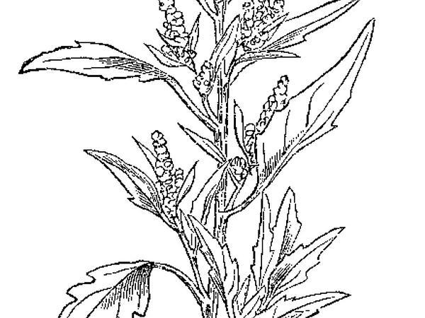 Lambsquarters (Chenopodium Album) https://www.sagebud.com/lambsquarters-chenopodium-album