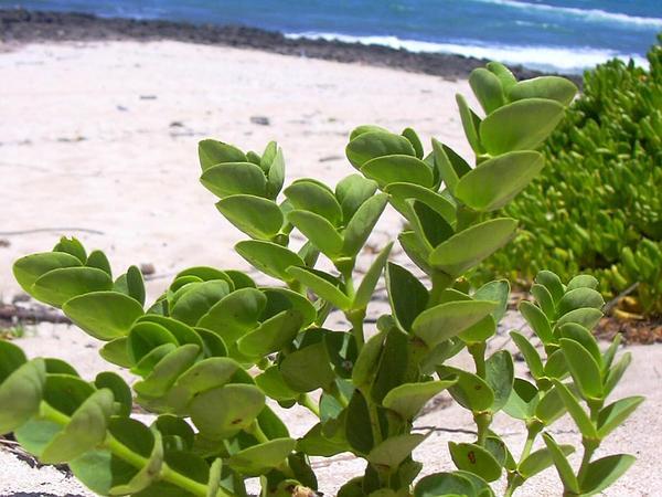 Sandmat (Chamaesyce) https://www.sagebud.com/sandmat-chamaesyce