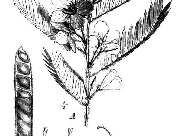 Sensitive Pea (Chamaecrista) https://www.sagebud.com/sensitive-pea-chamaecrista