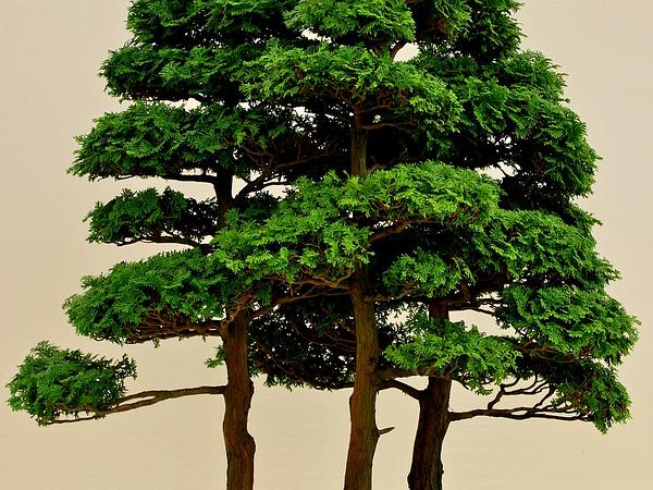 Cedar (Chamaecyparis) https://www.sagebud.com/cedar-chamaecyparis