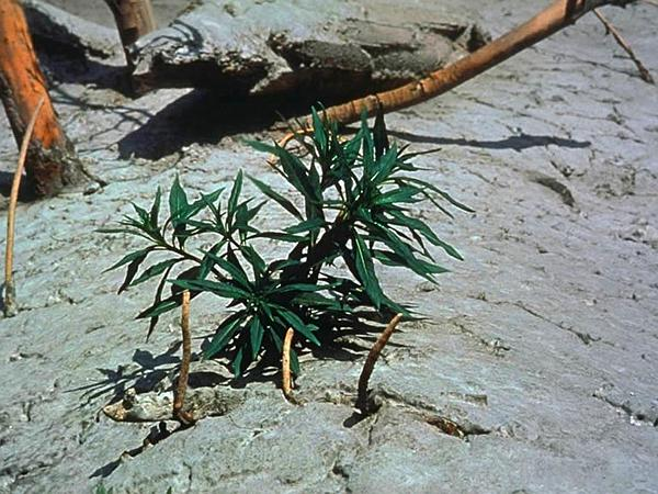 Fireweed (Chamerion) https://www.sagebud.com/fireweed-chamerion