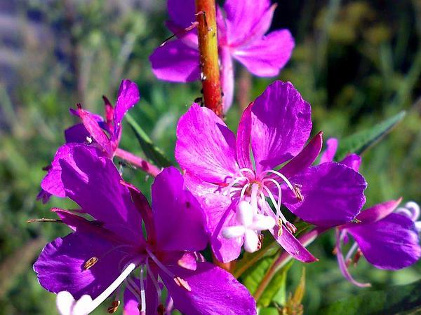 Fireweed (Chamerion Angustifolium) https://www.sagebud.com/fireweed-chamerion-angustifolium