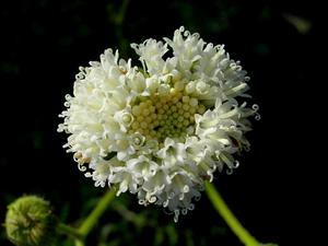 White Pincushion