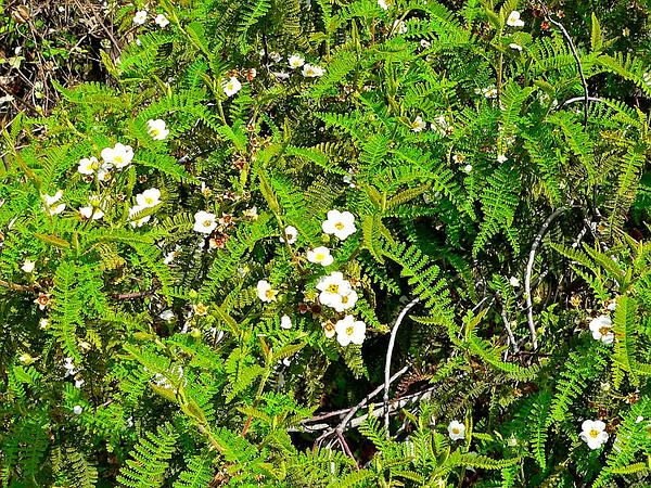 Southern Mountain Misery (Chamaebatia Australis) https://www.sagebud.com/southern-mountain-misery-chamaebatia-australis/